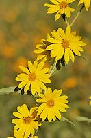 Maximilians Sunflower (Helianthus maximilianii), blooming, Texas, USA