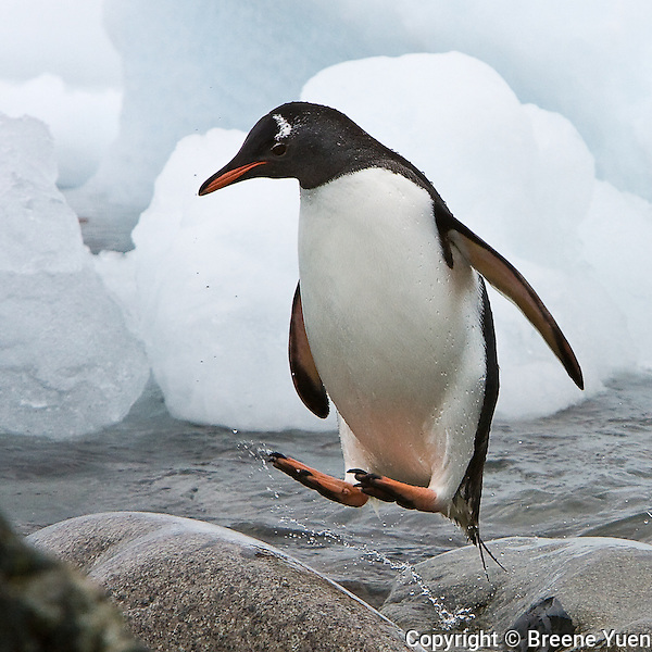 A Gentoo penguin comes back from feeding and head back to its nest by hopping rocks