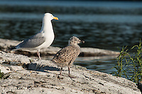 """""""Herring Gull Chick""""<br /> <br /> A young herring gull chick is losing its downy feathers as the summer days wear on.<br /> ~ Day 115 of Inspired by Wilderness: A Four Season Solo Canoe Journey"""