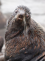 Northern fur seal, Callorhinus ursinus, note whiskers, portrait of adult male bull, St Paul Island, Alaska