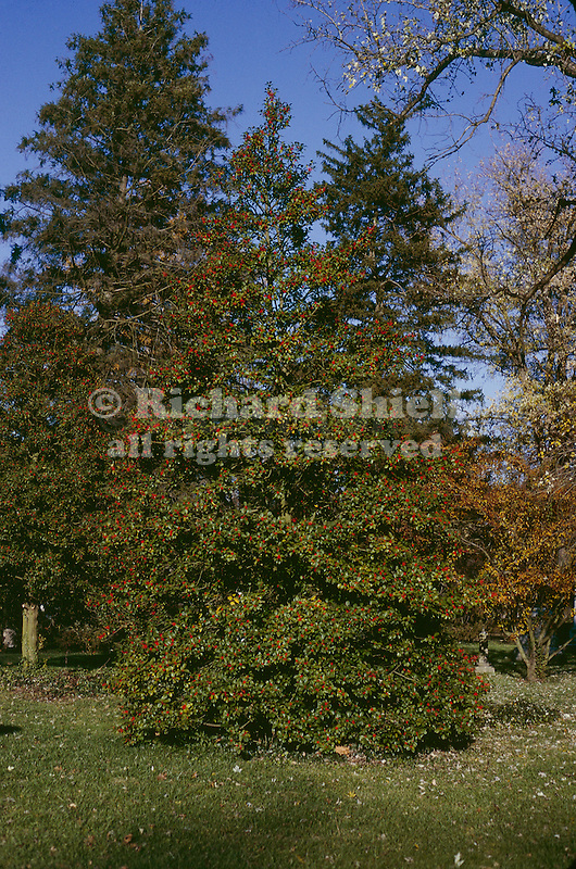 1065-CD Ilex opaca, American Holly