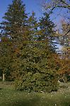 1065-CD Ilex opaca, American Holly