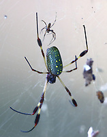 Orb-weaver spider. Note also the small spider, is that the male?
