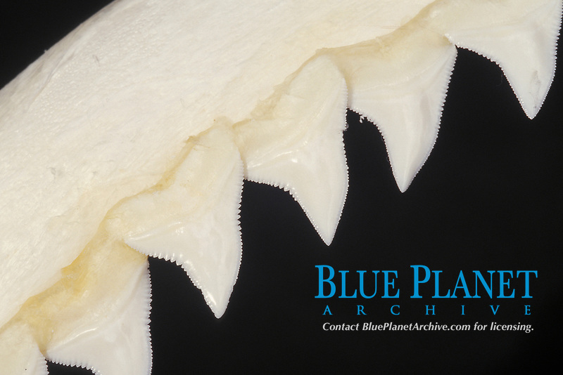 teeth of Galapagos shark, Carcharhinus galapagensis, shark teeth grow in rows and are replaced as teeth are lost or broken off jaw, note serrated edges