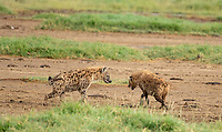 Two Spotted Hyenas, Crocuta crocuta, approach each other in Lake Nakuru National Park, Kenya