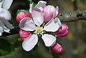 Blossom of Apple 'Fairie Queen', early May. An English dessert apple from Hertfordshire. First recorded in 1937.
