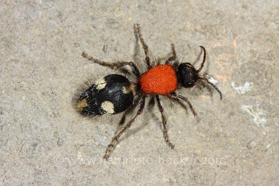 Südliche Spinnenameise, Dasylabris maura, Ameisenwespen, Spinnenameisen, Bienenameisen, Mutillidae, velvet ants