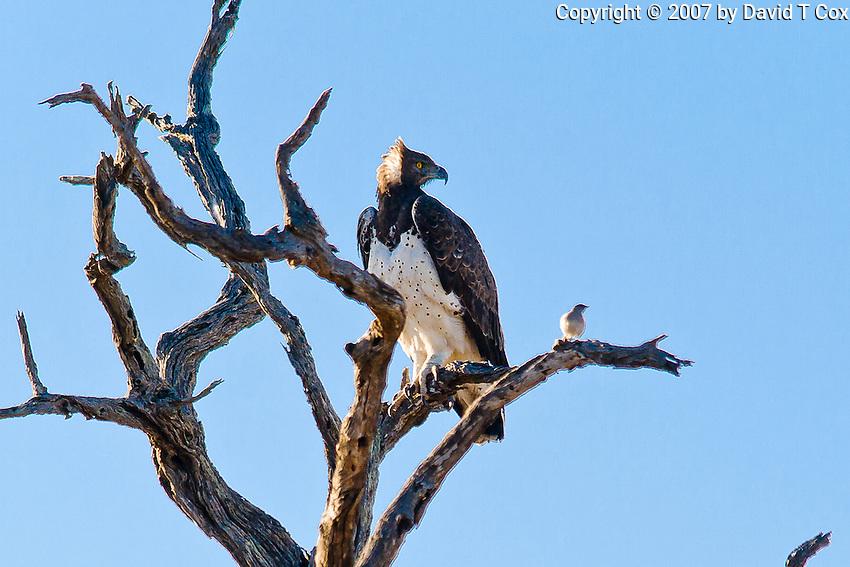 Martial Eagle, Kruger NP, SA