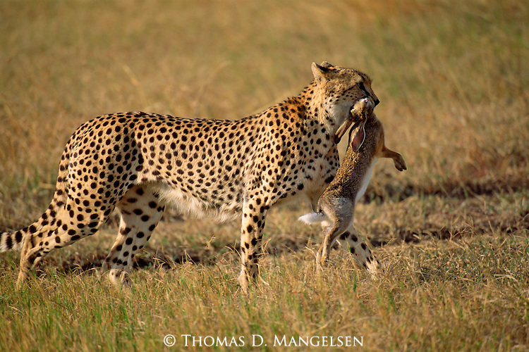 A Cheetah carries its dinner, a hare through the grass in Africa.