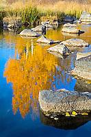 An aspen tree is refleted in a small stream near Duck Creek Villiage, Utah.