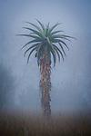 Aloe sp. at misty dawn. Anjampolo Forest, southern Madagascar.