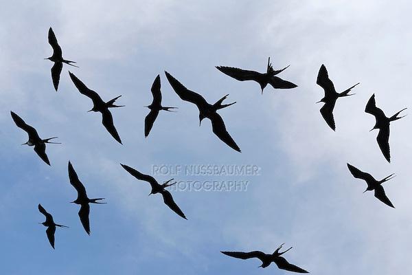 Great Frigatebird (Fregata minor), group in flight, Seymour Norte Island, Galapagos Islands, Ecuador, South America