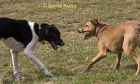 0801-0813  Mixed Breed Dogs Play Fighting, Canis lupus familiaris © David Kuhn/Dwight Kuhn Photography