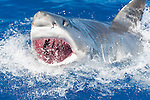 Guadalupe Island, Baja California, Mexico; an adult male Great White Shark (Carcharodon carcharias) breaks the water's surface while lunging for food