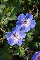 Geranium Rozanne in blue flowers
