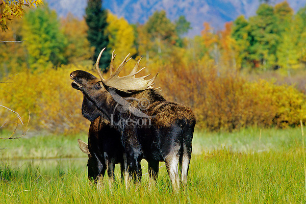 Bull Moose sniffing the air during the fall mating season.  Checking to see if the cow moose is receptive to mating.