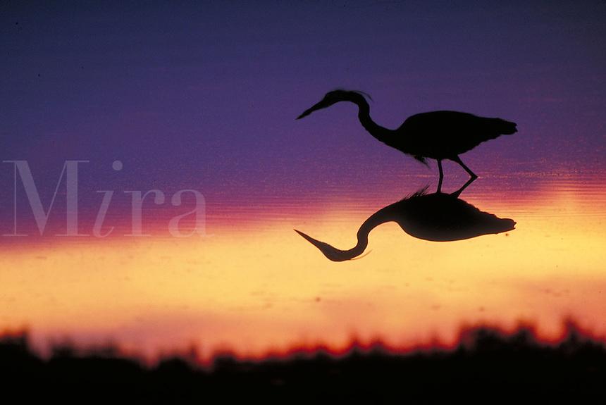 Great Blue Heron, afterglow silhouette. Wading birds. Silhouettes. Sanibel Island Florida, Ding Darling National Wildlife Refuge.