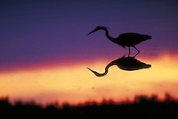 Great Blue Heron, afterglow silhouette. Wading birds. Silhouettes. Sanibel Island Florida, Ding Darling National Wildlife Refuge.