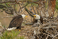 Bald Eagle Nest (Haliaeetus leucocephalus)--both adults with two several week old eaglets in tall ponderosa pine tree.  Oregon.  April.  Adults are calling/communicating with each other after eagle on left has just returned to the nest.