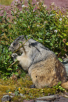 Hoary Marmot (Marmota caligata) eating.  Western U.S., Sept.