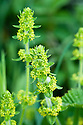 Crosswort (Cruciata laevipes), Devon headgerow, late April.