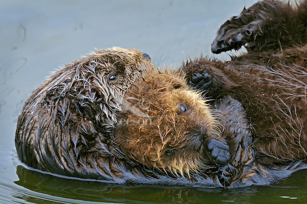 Sea Otter (Enhydra lutris) mother carrying young pup.