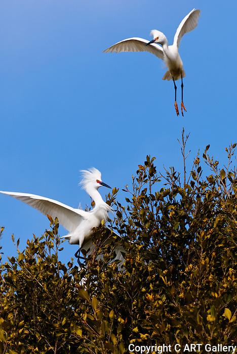 Egrets in a tree, Upper Newport Bay, California