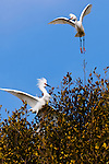 Egrets in a tree, Upper Newport Bay, California