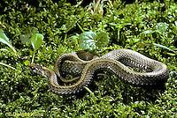 1R01-034z  Red-bellied Snake - Storeria occipitomaculata