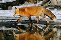 Red fox reflecting in melt water on frozen lake
