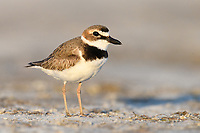Wilson's Plover (Charadrius wilsonia) in breeding plumage. Marco Island, Florida. March.