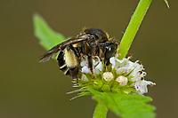 Schenkelbiene, Auen-Schenkelbiene, Sumpfschenkelbiene, Sumpf-Schenkelbiene, Macropis labiata, Macropis europaea, Yellow-Loosestrife Bee, Schenkelbienen