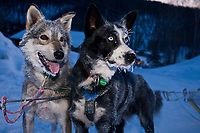 Dan Kaduce wheel dogs,  Windex and Devil, are still ready to run when Dan arrives at Ruby in the evening during the 2010 Iditarod