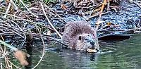 2017-11-06_Urban Wildlife_Beaver