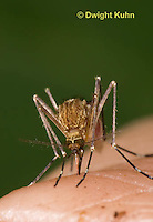 MQ02-705z   Mosquito sucking blood from human finger, Ochlerotatus canadensis, [Aedes canadensis], MNV, West Nile Virus vector,  EEE Vector.