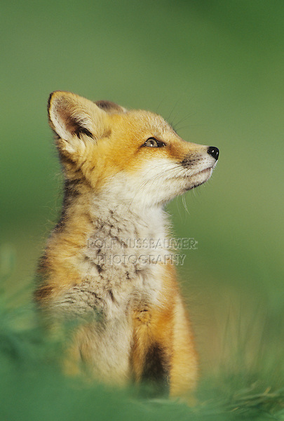 Red Fox (Vulpes vulpes), young, Colorado, USA