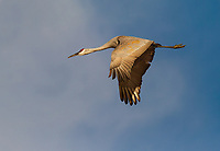 Adult Sandhill Crane in flight against blue sky with wings in downstroke