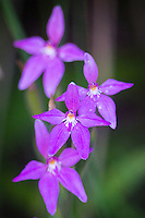 Pink Fairy Orchids near Esperance, Western Australia