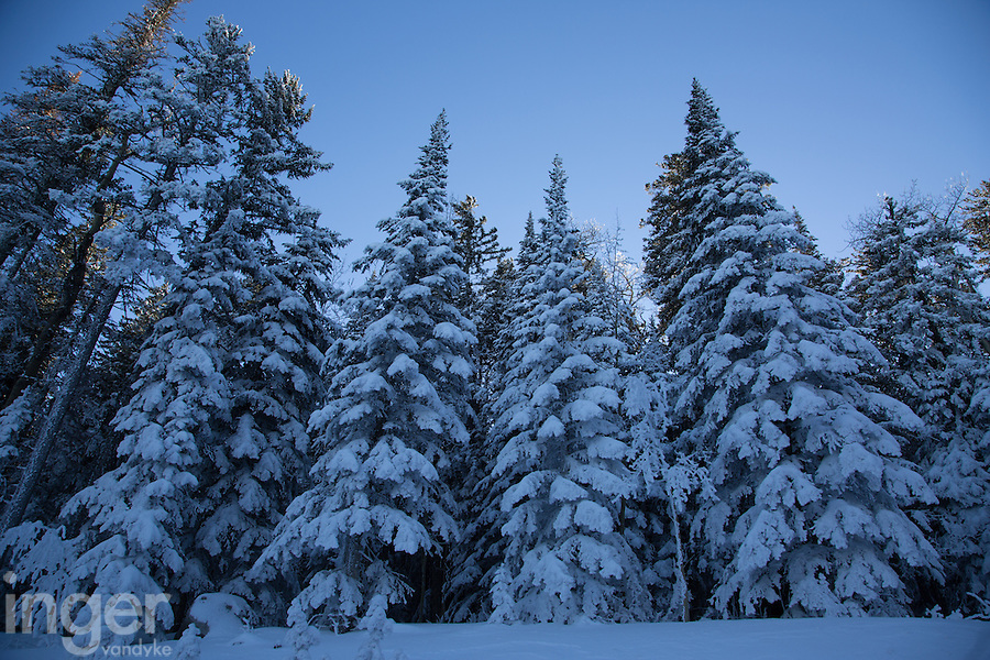Pine forest decked in snow at Sandia Crest, New Mexico