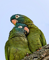 Pair of Blue-crowned parakeets, snuggling