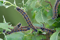 BNPS.co.uk (01202 558833)<br /> Pic: UKButterflies/BNPS<br /> <br /> Pictured: The Large Tortoiseshell butterfly as a caterpillar.<br /> <br /> A giant butterfly which was presumed extinct for over 50 years is breeding again in Britain.<br /> <br /> The Large Tortoiseshell, Latin-name Nymphalis polychloros, disappeared from British woodlands in the 1960s due to the effects of Dutch Elm disease, climate change and parasitic flies.<br /> <br /> But conservationists have now discovered two groups of orange-spined larvae nestling on the upper surface of elms on the isle of Portland, Dorset.