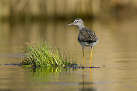 Lesser Yellowlegs wading in a pond