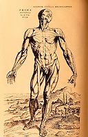 """Science:  Vesalius--The First """"Muscle Man"""".  From  FABRICA 1543.  Photo '84."""