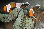 Puerto Galera, Oriental Mindoro, Philippines; several saddleback anemonefish living in a small green carpet anemone on the sandy bottom