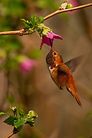 1Male Rufous Hummingbird (Selasphorus rufus) nectaring on salmonberry blossom.  Western Washington.  April.