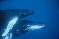 Humpback whale, mother and Calf, Megaptera novaeangliae, Silverbanks, Caribbean Sea, Dominican Republic, Caribbean, Atlantic