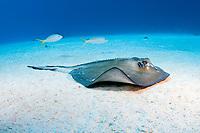 Southern Stingray (Dasyatis americana), West Caicos, Turks & Caicos, Caribbean.