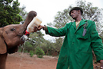 Abdi Kashel, a keeper, feeds one of the 18 orphaned baby elephants at the David Sheldrick Wildlife Trust in Nairobi National Park.
