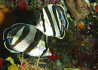 Banded Butterfly fish in the Caribbean