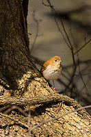 Veery (Catharus fuscescens).  Great Lakes Region.  May.
